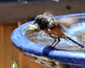 Rufus-sided towhee, Bird bath, Randy Cockrell