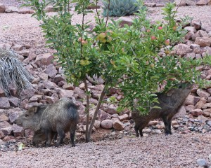 Javalina eating my Apples. Photo by Randy Cockrell