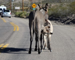 Thankful that Mom will stop in the middle of the road to let me eat. Oatman, AZ by Randy Cockrell